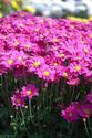 ดอกไม้เทศและดอกไม้ไทย  ต้น99.เบญจมาศ