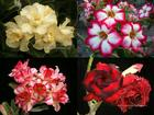 4 Adenium Obesum Plants SET no.2  + shipping