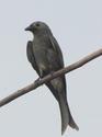 นกแซงแซวสีเทา พบบ่อยแต่กลับเพิ่งพบ โดย ธงชัย เปาอินทร์ เรื่อง-ภาพ