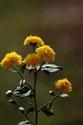 ดอกไม้เทศและดอกไม้ไทยต้น 24.เก๊กฮวย