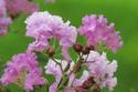 ดอกไม้เทศและดอกไม้ไทย  ต้น 49.ยี่เข่ง