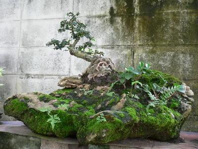 ชา สวนถาด  50 cm.