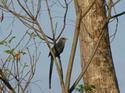 นกบั้งรอกใหญ่ นกสวยพบเห็นได้ไม่ยาก โดยธงชัย เปาอินทร์ เรื่อง-ภาพ