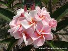 """Plumeria """"ORATHAI PINK"""" grafted plant"""
