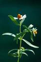 ดอกไม้เทศและดอกไม้ไทย  ต้น 98.แบล็คฟุตเดซี่
