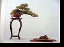 ภาพบอนไซ bonsai pictures