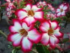 """Adenium Obesum (Desert Rose) """"SWEET"""" Grafted Plant"""