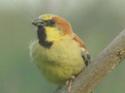 นกกระจอกตาล :นกกระจอกอีกชนิดที่เพิ่งรู้จัก  โดยธงชัย เปาอินทร์ เรื่อง-ภาพ