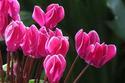ดอกไม้เทศและดอกไม้ไทย ต้น 23.ไซคลาเมน