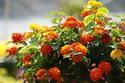 ดอกไม้เทศและดอกไม้ไทยต้น 103. ผกากรอง