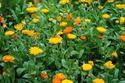 ดอกไม้เทศและดอกไม้ไทย ต้น 73 คาเลนดูลา