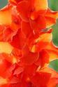 ดอกไม้เทศและดอกไม้ไทย ต้นที่ 3.แกลดดิโอลัส (ซ่อนกลิ่นฝรั่ง)