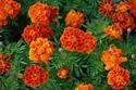 ดอกไม้เทศและดอกไม้ไทย  ต้น 85.ดาวเรืองฝรั่งเศส