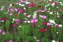 ดอกไม้เทศและดอกไม้ไทย  75.ดาวกระจาย