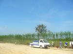 จัดส่งไม้ไผ่เลี้ยงจำนวน 500 กอ จังหวัดชลบุรี+พร้อมปลูก(บริษัท กสิณาลี รีสอร์ท จำกัด)