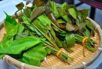 Cara mencegah penuaan dini atasi pakai daun MELINJO !!