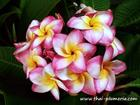 "Plumeria ""KASED SILP"" grafted plant"