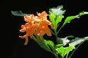 ดอกไม้เทศและดอกไม้ไทยต้นที่ 34.สังกรณีใบมัน