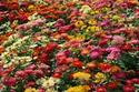 ดอกไม้เทศและดอกไม้ไทย ต้น 39.บานชื่น