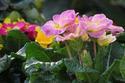 ดอกไม้เทศและดอกไม้ไทย  ต้น56. พริมูลา