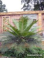 ต้นไม้ใหญ่ยืนต้น 5 (Palm)
