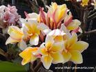"Plumeria ""EMPEROR"" grafted plant"