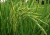ขายหัวน้ำหอมกลิ่นน้ำนมข้าว ขายน้ำหอมกลิ่นน้ำนมข้าว Sell ricemilk fragrance