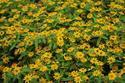 ดอกไม้เทศและดอกไม้ไทย  ต้น69.กระดุมทอง
