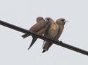 นกแอ่นพง ชอบอยู่ 3 ตัวเบียดๆ  โดยธงชัย เปาอินทร์ เรื่อง-ภาพ