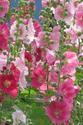 ดอกไม้เทศและดอกไม้ไทยต้นที่ 9 ฮอลลี่ฮอก