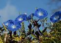 ดอกไม้เทศและดอกไม้ไทยต้นที่ 11. มอร์นิ่งกลอรี่