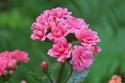 ดอกไม้เทศและดอกไม้ไทย  ต้น 71.กุหลาบหิน