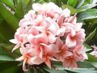 """Compact Plumeria """"RUNGSIRICHOK"""" grafted plant"""