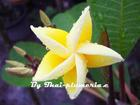 "Plumeria ""YELLOW QUEEN"" grafted plant"