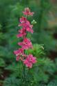 ดอกไม้เทศและดอกไม้ไทย ต้น 81.แตมพานูลา