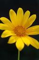 ดอกไม้เทศและดอกไม้ไทยต้น21.บัวตอง
