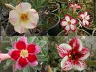 4 Adenium Obesum Plants SET no.10 + shipping