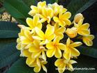 "Plumeria ""HEIDI GOLD"" grafted plant"