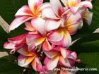 "Plumeria ""MADAME RAINBOW"" grafted plant"