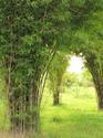 ไม้ไผ่ หญ้ามหัศจรรย์          โดยธงชัย เปาอินทร์ เรื่อง-ภาพ