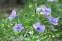 ดอกไม้เทศและดอกไม้ไทย  ต้น 101.ต้อยติ่ง