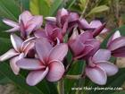 "Plumeria ""PURPLE AROMATIC ROSE"" grafted plant"