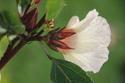 ดอกไม้เทศและดอกไม้ไทย  ต้น57 กระเจี๊ยบแดง