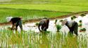 การทำนาข้าวแบบเกษตรอินทรีย์