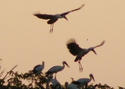 นกปากห่าง  เพื่อนชาวนา  โดยธงชัย เปาอินทร์ เรื่อง-ภาพ