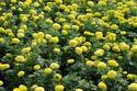 ดอกไม้เทศและดอกไม้ไทย  ต้น 83.ดาวเรือง