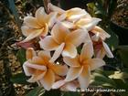 "Plumeria ""THIPPATUMPORN"" grafted plant"
