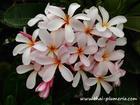 "Dwarf Plumeria ""SINGAPORE PINK"" grafted plant"