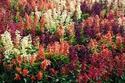 ดอกไม้เทศและดอกไม้ไทย  ต้น 106.แซลเวีย