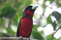 นกพญาปากกว้างท้องแดง